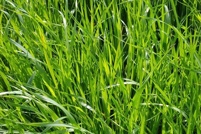 ray grass italien