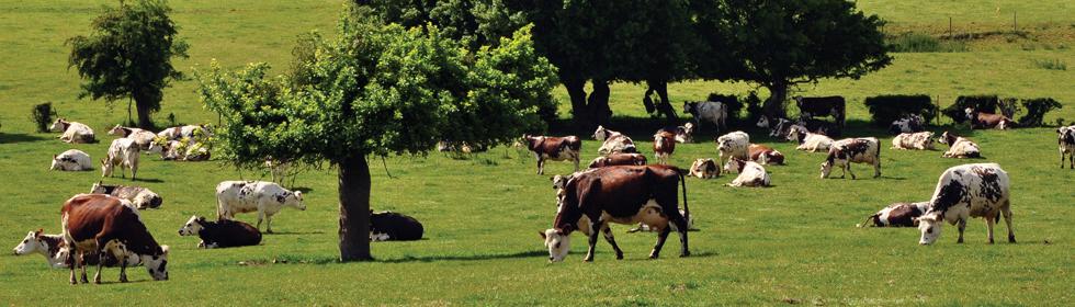 vaches normandes en pays de Bray